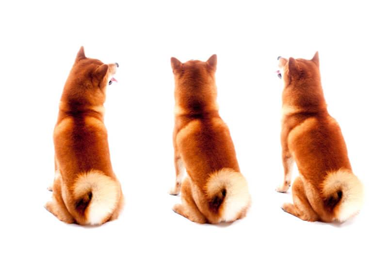 3匹の柴犬の後ろ姿